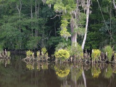 Swamp Beauties of the Waccamaw River