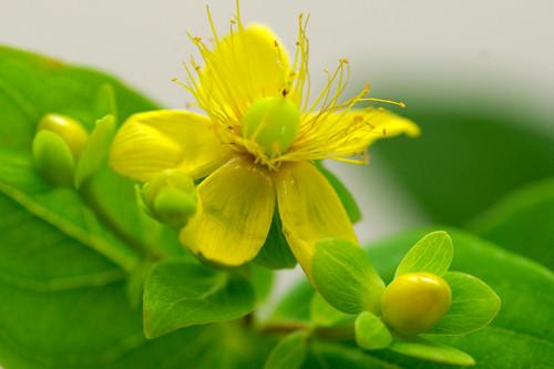 ヒペリカム・ジェイドフレアの花