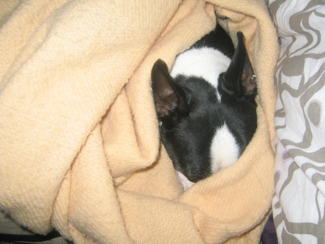 Its 115 in Phoenix, but Joey is wrapped in his wool blankie