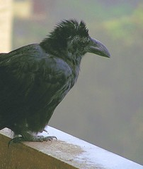 Crow or Mohawk?