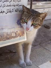 Gatico abandonado en Tiro, Líbano