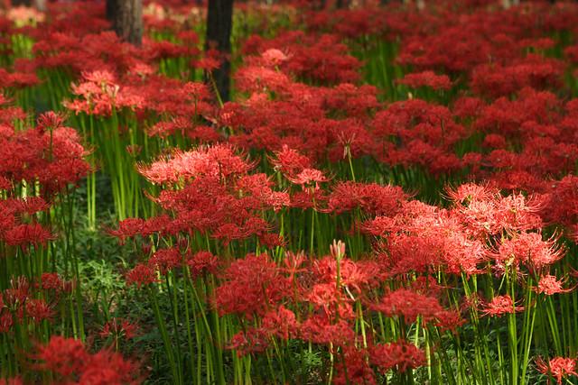 深紅の絨毯
