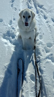 Jerk dog sitting in the skin track demanding a treat.