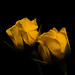 Yellow Rose Pair 1106 Copyrighted