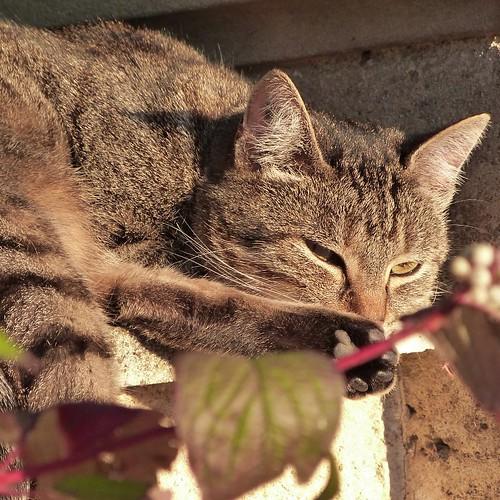 le trottoir - chat sur mur - de tout près - octobre 2015 (800x800)
