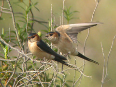Red-rumped Swallow, W of Mértola (Portugal), 26-Apr-06