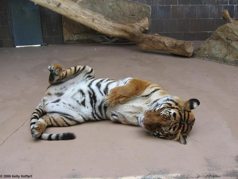 IMG_2915 - 3-Legged Tiger
