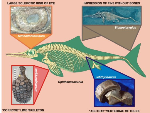 icthyosaur's features