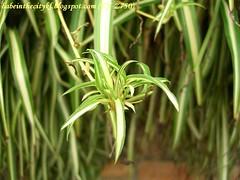 ch - cv spider plant