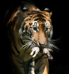 Hungry Tiger photo by Keith Marshall
