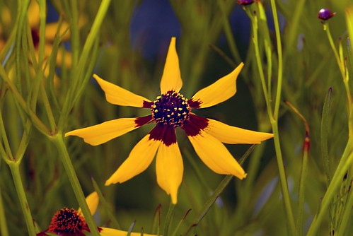 Coreopsis Forest