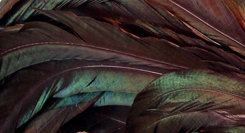 Rooster Tail Feathers Detail