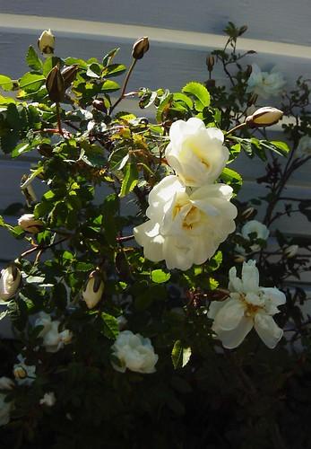 Rosa Pimpinella Plena - Juhannusruusu