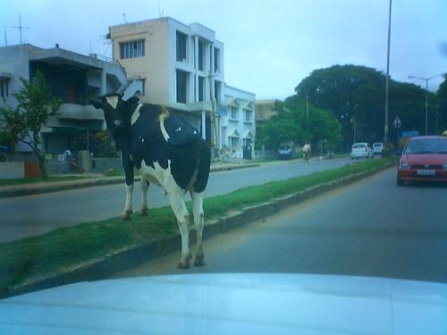Obligatory cow in traffic shot