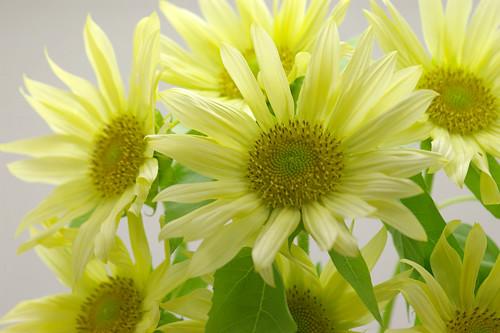 sunflower jade
