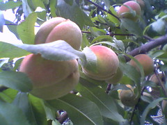 Our Peach Tree