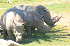 trio of rhino