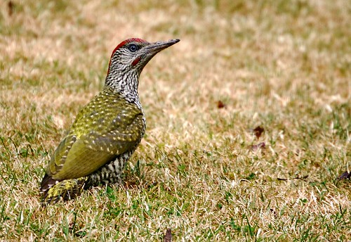 Green Woodpecker - 2