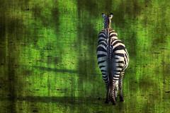 holgaised zebra's
