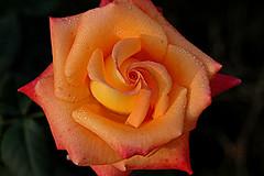 Chandigarh Rose From Archives photo by Koshyk