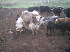 Milk a yak