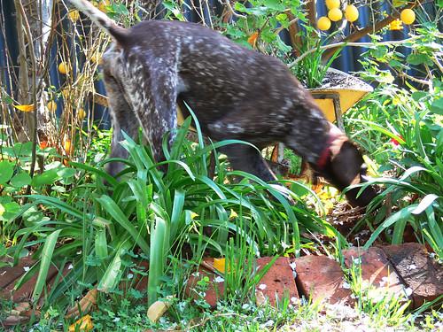 Jazzy in the garden