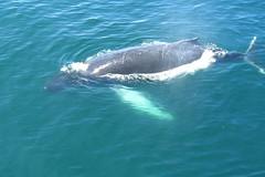 Humpback calf surfacing near our boat