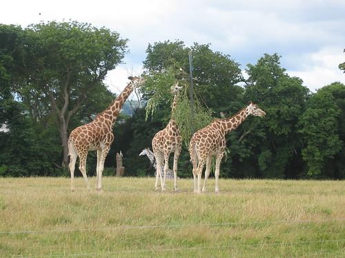 Giraffes in Fota