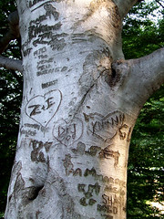 beech with graffiti