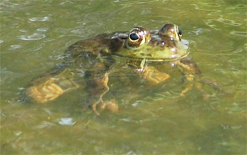 yesterdays frog