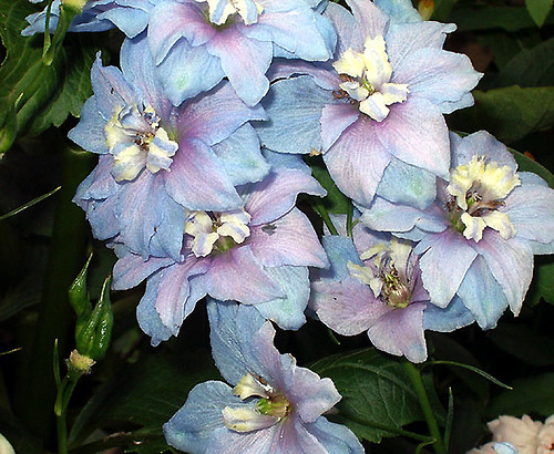 Heavenly blue delphinium