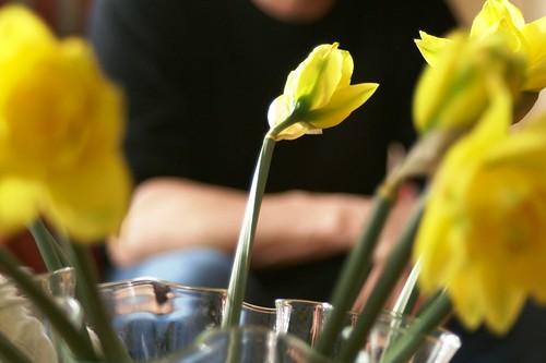Norwegian Daffodils