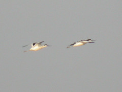 Avocets, Castro Marim (Portugal), 28-Apr-06