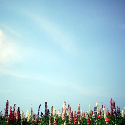 ルピナス畑