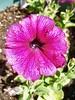 20060606 Petunia