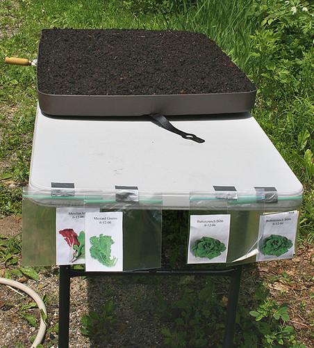lettuce plot 9