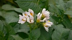 今週の市民農園:ジャガイモの花