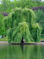 Goin to plant a weeping willow On the banks green edge it will grow grow grow Sing a lullaby beside the water Lovers come and go but the river roll roll roll