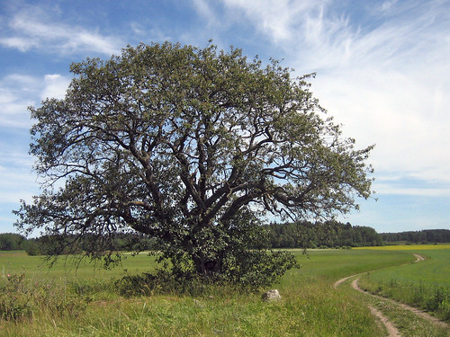 That Old Tree (july 1th)