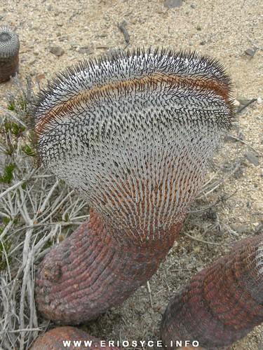 Cactus Chilenos en Habitat 179910671_d64dcbd784