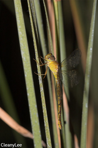 13154浡鋏晏蜓 Gynacantha bayadera 雌未熟?