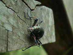 大擬步行蟲
