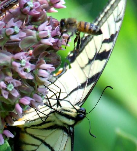 swallowtail and honeybee