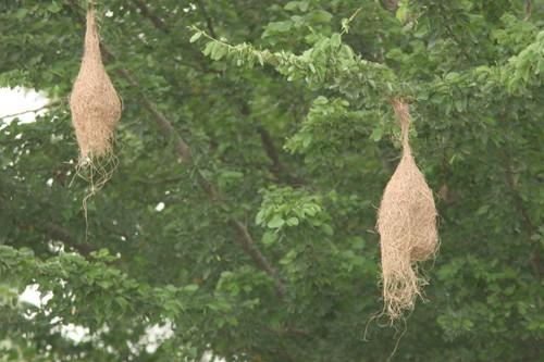 IMG_0143 weaver birds' nests