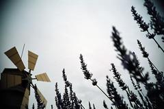 風車とセージ