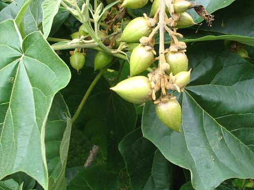 Paulownia fruit