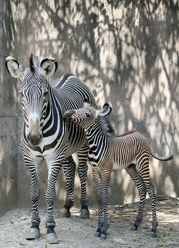 Zebra bebé