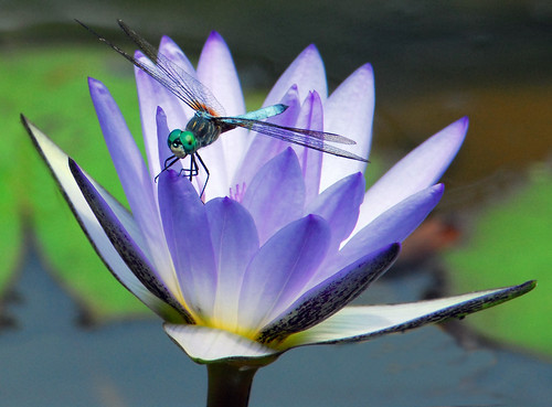 Dragonfly On Blue Waterlily