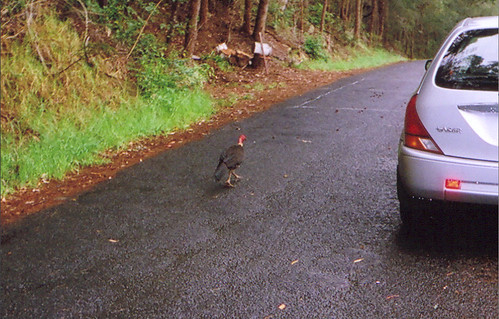 Bachelor brush turkey