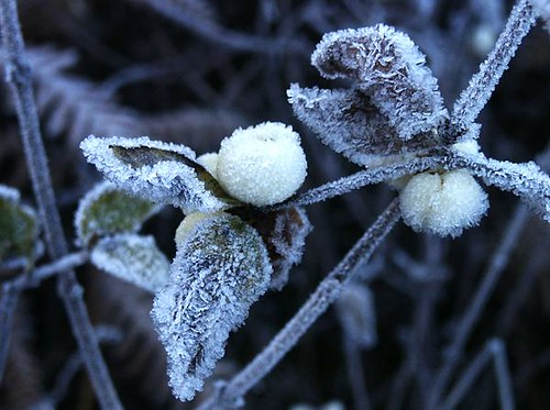 snowberries in the frost